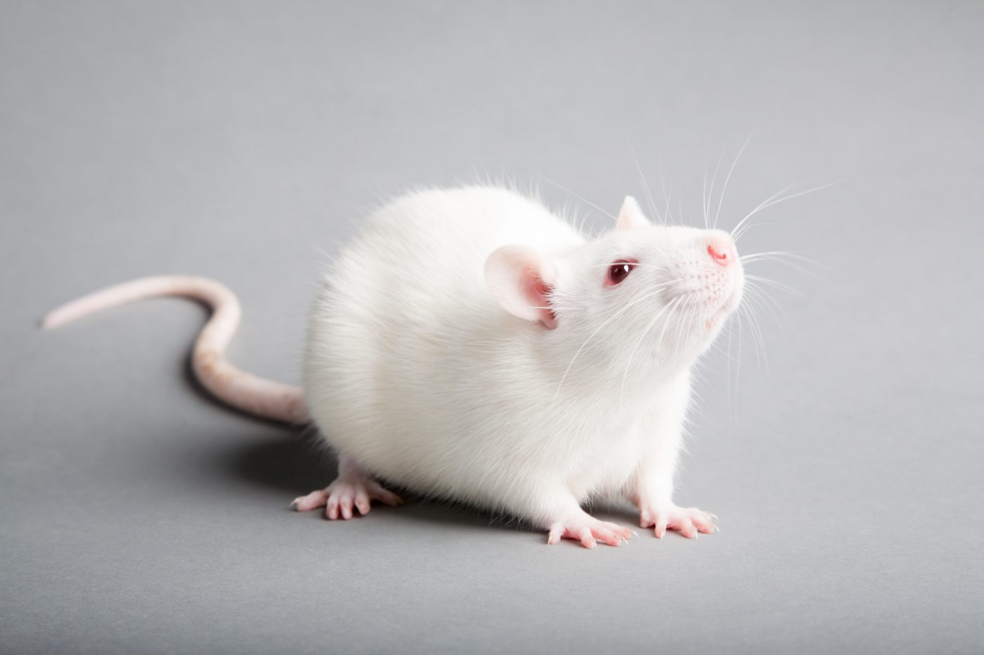 Gene Therapy Found to Prevent Parkinson's Disease in Rats