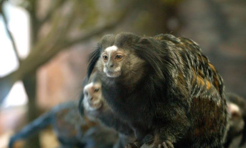 Parkinson's Monkey Model May Help Scientists Explore Non-Motor Symptoms, Study Reports