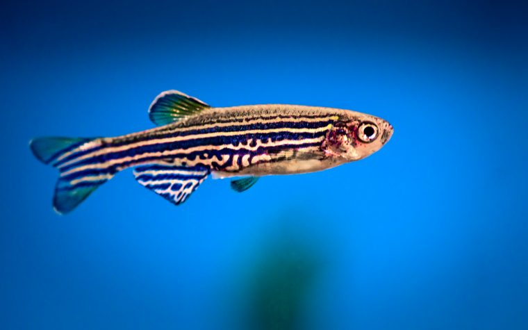 cannabinoids, zebrafish model