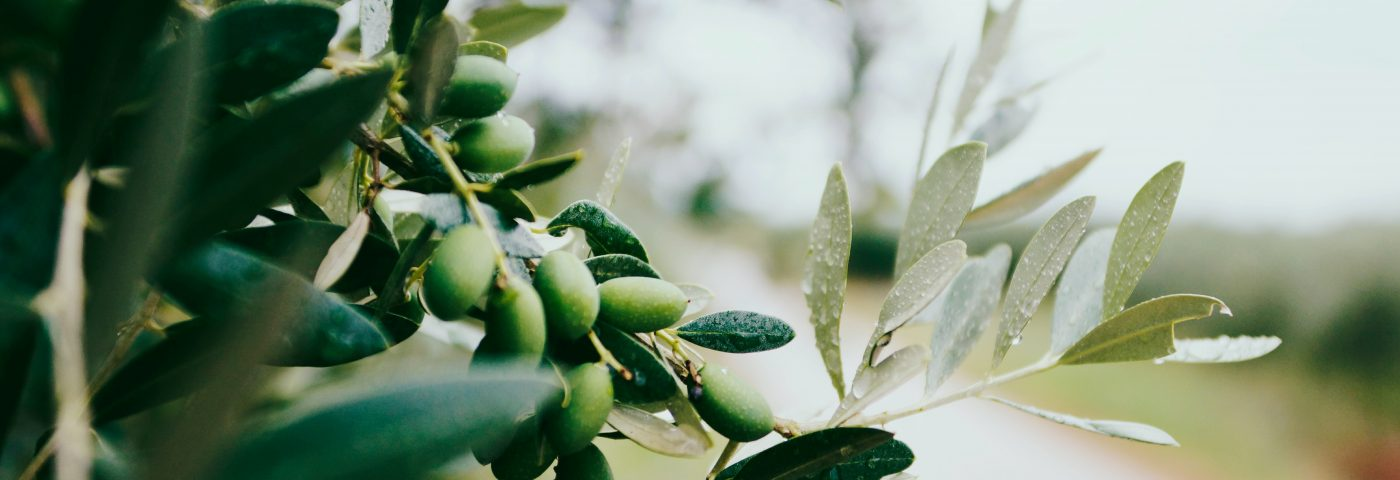 Hidrox, an Olive Extract, Eased Parkinson's Symptoms in Mice, Study Finds