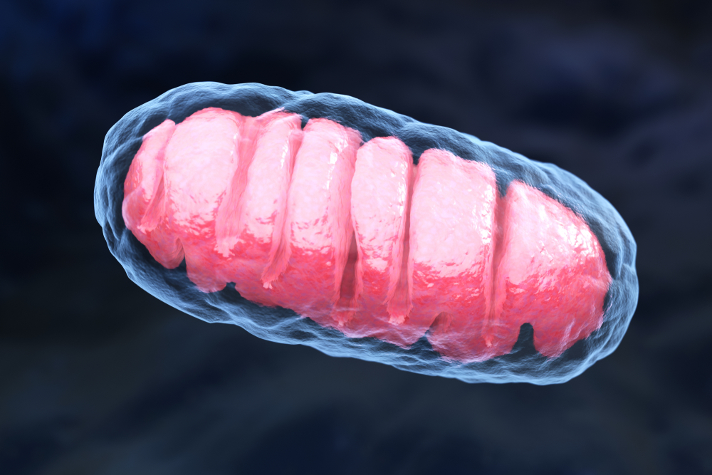 recycling of mitochondria